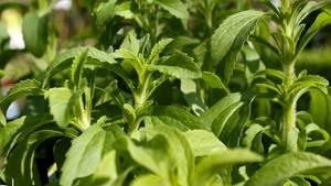 Das Süßungsmittel Steviolglycosid wird aus der subtropischen Stevia-Pflanze gewonnen