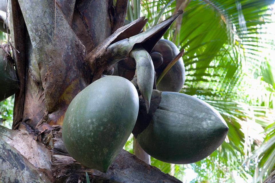 Coco de Mer, auch Seychellennuss genannt, ist eine endemische Palmenart, die nur auf den Seychellen vorkommt.