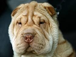 Auch Hunde können trauern, etwa wenn das Herrchen stirbt. Therapeuten sollen dann helfen