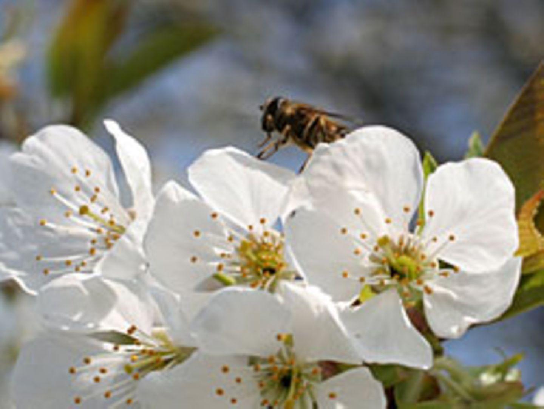 Schmetterlingsraupen fühlen sich durch Bienen sehr gestört und fressen bis zu 70 Prozent weniger