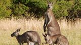 Ein Känguru beobachtet skeptisch die nahenden Menschen. Die anderen grasen in der Abenddämmerung ruhig weiter