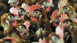 Bei Transporten für den Geflügel-Produzenten Wiesnhof wurden Hühner massiv gequält