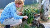 Jeden Morgen gibt es frische Zweige von einer Eukalyptussorte, die der kleine Koala am liebsten mag. Shayne Neal päppelt verletzte Wildtiere in seinem kleinen Eco-Lodge-Zoo auf und wildert sie anschließend wieder aus