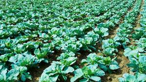 Auch im gesunden Salatkopf können Schadstoffe stecken