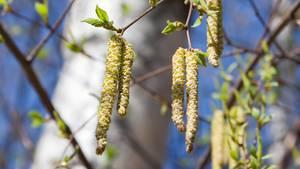 Pollen der Birke