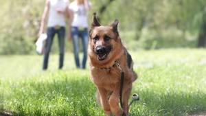 Vierbeiner können eine große Hilfe sein: Auf Diabetes geschulte Hunde machen sich bemerkbar, wenn das Herrchen oder Frauchen unterzuckert ist