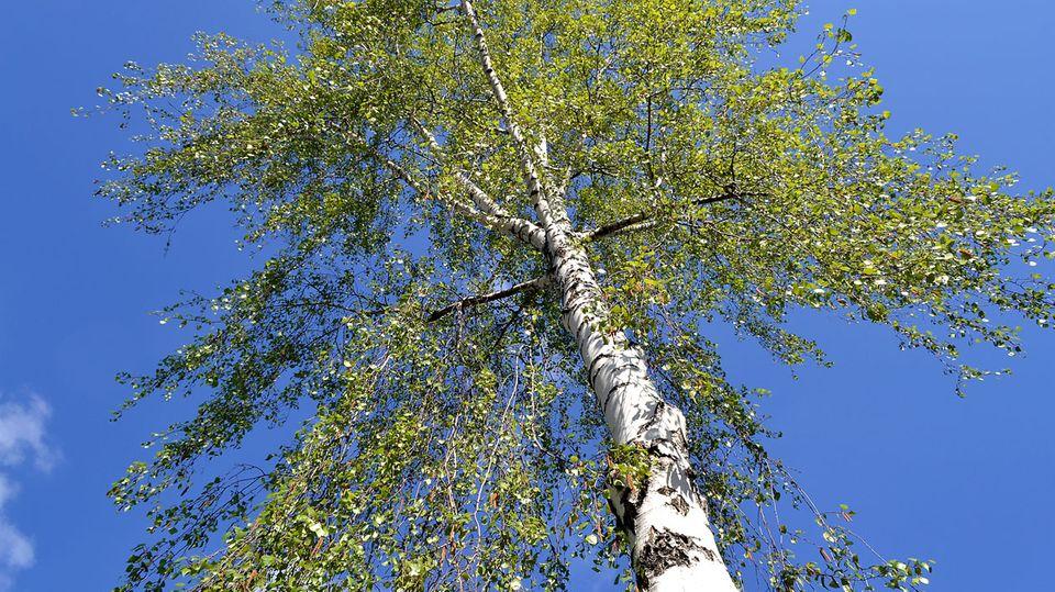 Birkenpollen lösen von den Baumpollen am häufigsten Beschwerden aus