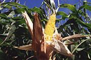 Mais ist eine der ältesten und wichtigsten Kulturpflanzen der Welt