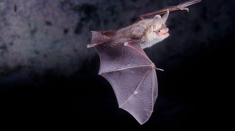 Ultraschall verwenden auch Fledermäuse: Sie orientieren sich am Echo ihrer Töne