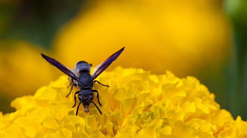 Für Allergiker ist jeder Stich einer Biene, Wespe, Hummel oder Hornisse gefährlich