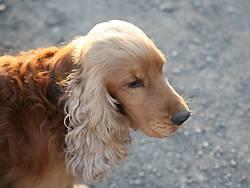 Der Biss eines Cockerspaniels brachte letztendlich zwei Berliner Hundebesitzer vor Gericht