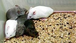 Schalteten Forscher das Hungerhormon Ghrelin aus, nuckelten die Mäuse weniger an der Alkoholflasche