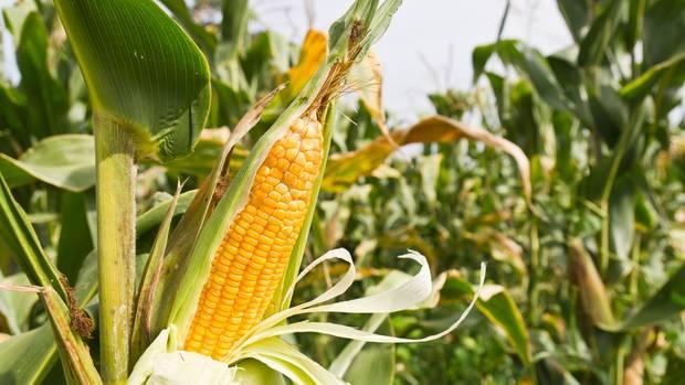 Bekommt das Gemüse neue Gene, kann es Tier und Mensch schaden