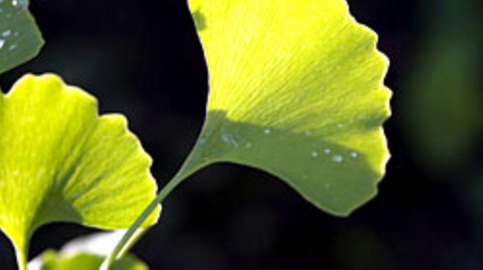 Kaum eine Heilpflanze ist so intensiv beforscht worden wie Ginkgo