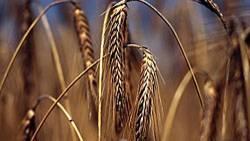 In dem rund 11.000 Jahre alten Kornspeicher in Jordanien identifizierten die Forscher Überreste von wilder Gerste