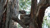 Auch eine Gruppe neugieriger Touristen und Fotografen im Unterholz können einen Koala nicht aus der Ruhe bringen. Verschlafen bleibt das putzige Beuteltier in seiner Astgabel hocken, entspannt von den ätherischen Ölen der Eukalyptusblätter, seiner Hauptnahrung