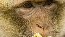 """Manche Affenarten halten ihr Wissen über verstecktes Futter geheim, solange ihr """"Boss"""" in der Nähe ist"""