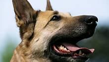 Ikone der Deutschen: der Schäferhund. Am Wochenende wird der Meister gekürt