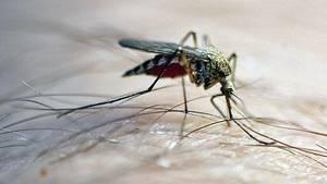 """Saugende Mücke: """"Viele Stoffe im Mückenspeichel können zu allergischen Reaktionen führen"""""""