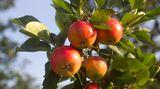 Nicht jede Apfelsorte ruft gleich starke Reaktionen hervor. Forscher haben herausgefunden, dass Apfelallergiker seltener auf alte Sorten reagieren als auf neuere Züchtungen. Einzelne Allergiker vertragen die Sorten Boskop, Altländer und Gloster. Besonders problematisch sind hingegen Golden Delicious, Braeburn, Granny Smith, Cox Orange und Jonagold