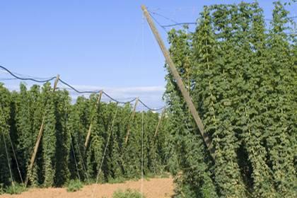 Kulturgut Hopfen: Wie Wein wächst er an Rebstöcken. Eine einzige Rebe genügt, um tausend Liter Bier zu produzieren