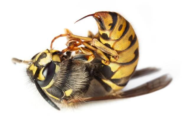 Bei einer Allergie gegen Insektengift hilft die Hyposensibilisierung