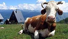 Kühe als Stromlieferanten: Ihre Verdauungsgase sollen Turbinen antreiben und Energie erzeugen