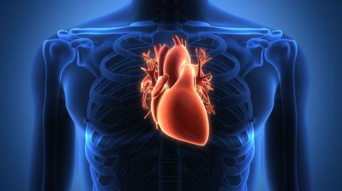 Das menschliche Herz: ein kleines Wunderwerk. Abbildung des menschlichen Herzens