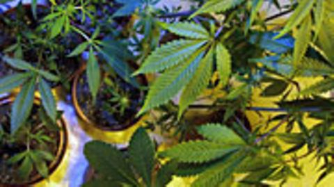 In Cannabis ist der Wirkstoff Tetrahydrocannabinol (THC) enthalten