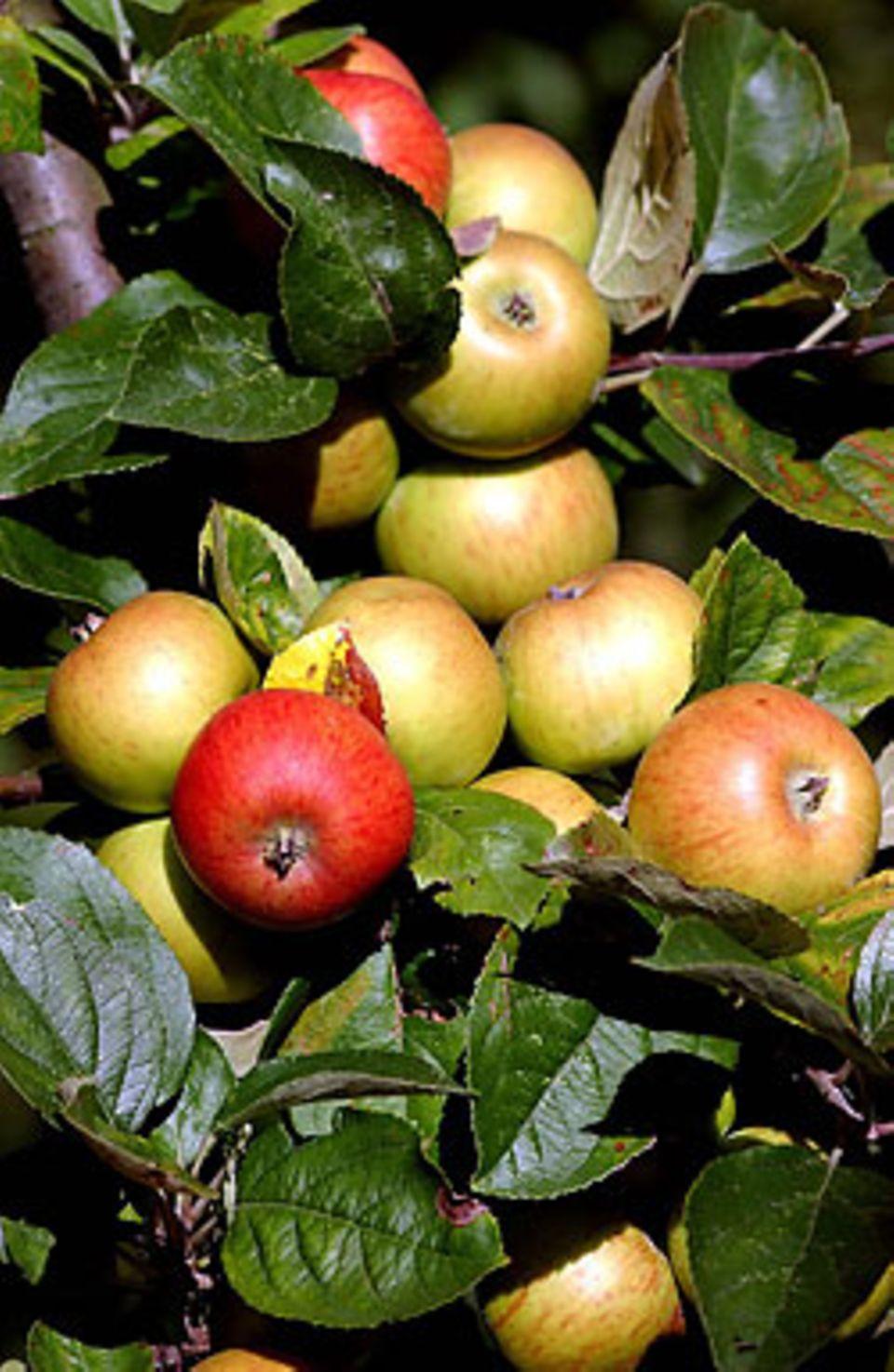 """Apfelbaum voller Früchte: """"Manchmal hängt das davon ab, ob ein Apfel innen oder außen in der Baumkrone wächst"""""""