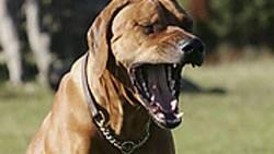 Ein Hund lässt sich vom Gähnen des Herrchens anstecken