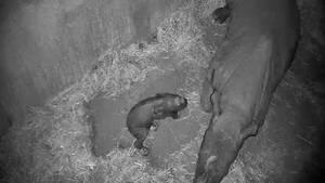 Erleichterung im Magdeburger Zoo: Am 26.03.2015 ist es soweit, das kleine Kälbchen ist um 23:01 Uhr endlich geboren. Wenige Minuten später bewegt es sich - und wirkt schon recht munter. Mehrere Millionen Zuschauer verfolgen diese Momente über die stern TV-Webcams in die Geburtsbox.