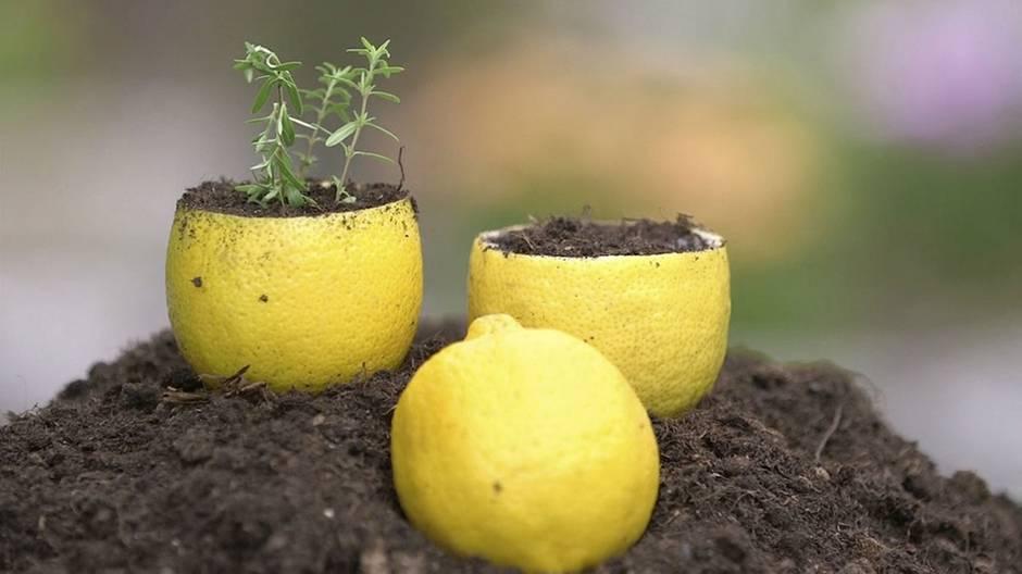 """""""Life Hacks"""": So nutzen Sie Zitronen als Blumentöpfe"""