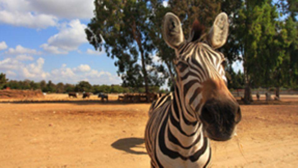Ein Zebra schaut direkt in die Kamera. Im Hintergund sieht man die afrikanische Savanne.