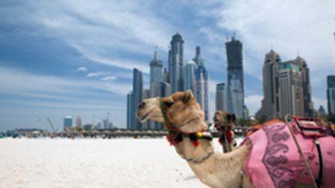 Ein Kamel vor der Skyline von Dubai.