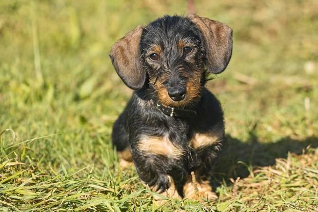 Dackel, Mops und Schäferhund: Der Hund sei der beste Freund des Menschen, sagt man. Doch günstig ist diese Freundschaft nicht - das zeigen schon die Unterschiede bei der Hundesteuer.