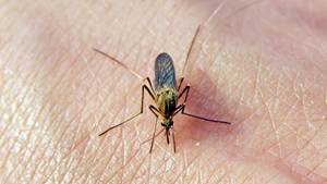 """Dieser Mensch hat wohl """"süßes Blut"""", dass sich eine Mücke ihn zum Wirt sucht. Fehlanzeige! Wie anfällig wir für Stiche sind, entscheiden unsere Gene."""