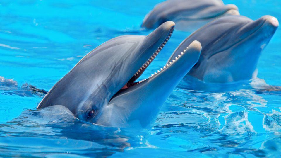 Delfine lieben Gesellschaft - und sie kommunizieren untereinander, etwa, indem sie sich gegenseitig beim Namen rufen