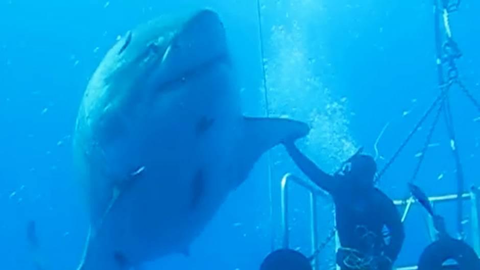 Riesenhai-Deep-Blue-vor-Guadalupe-in-Mexiko-gefilmt