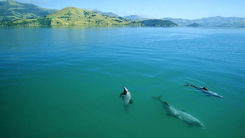 Die Maui-Delfine in Neuseeland sind vom Aussterben bedroht - ein Umweltskandal