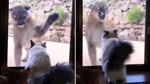 Puma versus Hauskatze