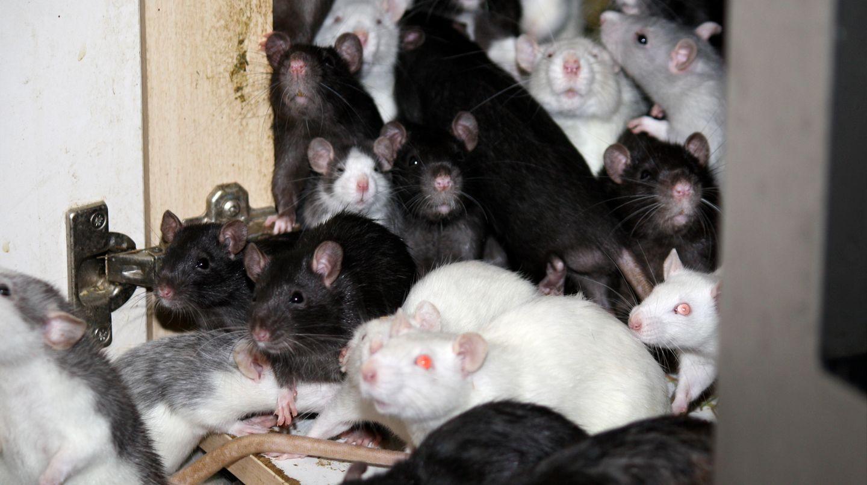 300 Ratten lebten mit einem Mann zusammen in einer Wohnung in Bad Aibling
