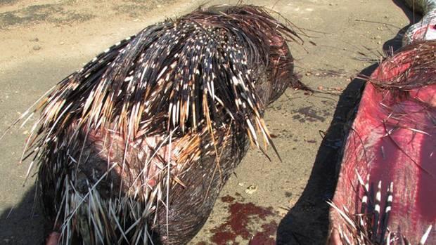 Das Stachelschwein wurde im Verdauungstrakt der Schlange entdeckt.