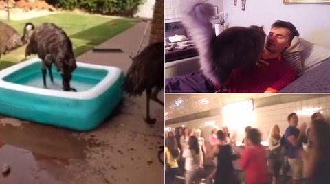 Webvideos der Woche: Schatz, da baden Emus im Pool!