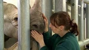 Kuschelstunde im Magdeburger Nashornhaus:Tierpflegerin Susann Paelecke bereitete Mala wochenlang auf den Transport vor. Zu ihr hat das Nashornmädchen Vertrauen.