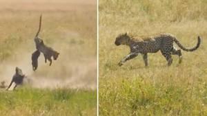 Eine Warzenschwein-Familie verteidigt ihr Junges spektakulär gegen einen Leoparden.