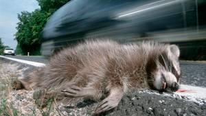 Ein toter Waschbär liegt an einem Straßenrand