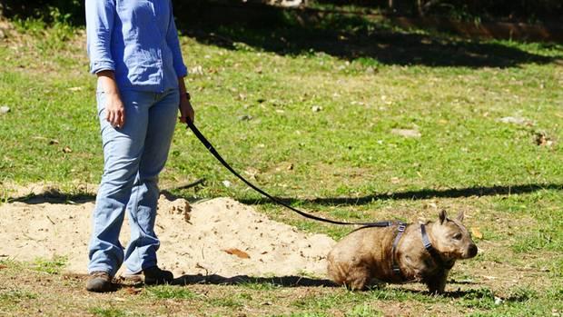 Der übergewichtige Wombat Donna wird an der Leine durch den Rockhampton Zoo in Australien geführt.