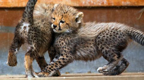 Zwei Gepardenjunge spielen im Gehege des Zoos Rostock.