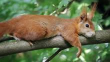 Ein Eichhörnchen liegt auf einem Baum